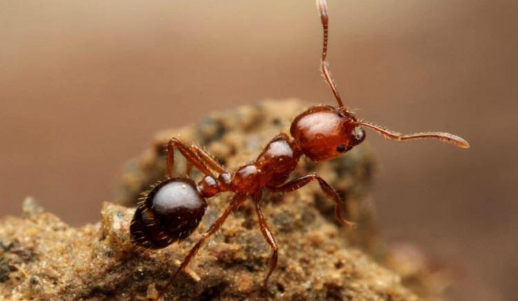"""【拡散希望】殺人アリ「ヒアリ」が日本に上陸…。 しかし日本には心強いヒアリの""""天敵""""がいるのです!⇒ その天敵と、それをぜひ知って欲しい理由"""