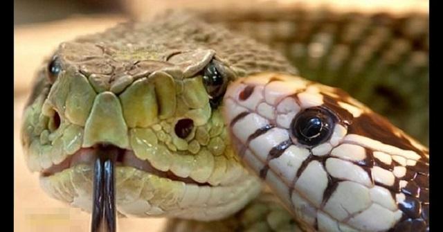 【静かなる暗殺者】ガラガラヘビに忍び寄るキングスネーク…「死のキス」と言われる瞬間が衝撃的すぎる!