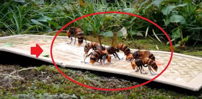【衝撃動画】富山の害虫駆除会社によるオオスズメバチ駆除の動画…まさかこんな方法があったとは…!