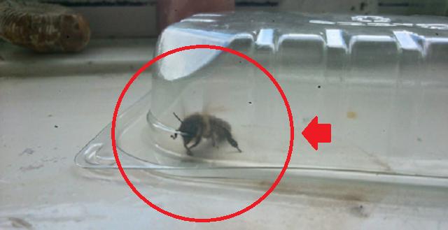 【衝撃】生きた女王蜂を家に連れて帰ったらとんでもないことになった