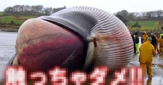 【注意喚起】もし海岸で座礁したクジラを見かけたら、絶対に近づかずにすぐ逃げて!!なぜなら・・・