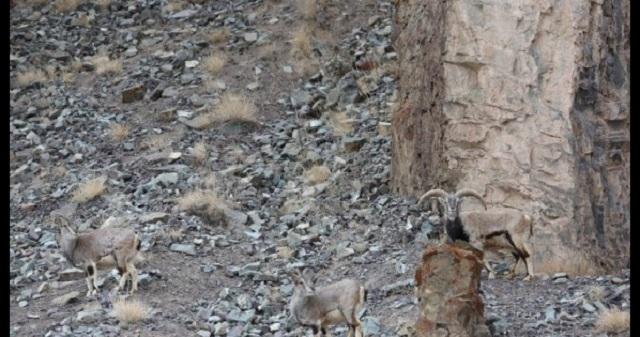 【驚愕の擬態能力】この画像の中に、1頭のユキヒョウが潜んでいます…。あなたには見つけられますか?