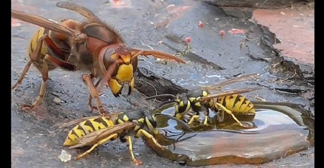 【凶暴】岩場の蜜に群がるハチたちに襲いかかるスズメバチがヤバ過ぎる・・・