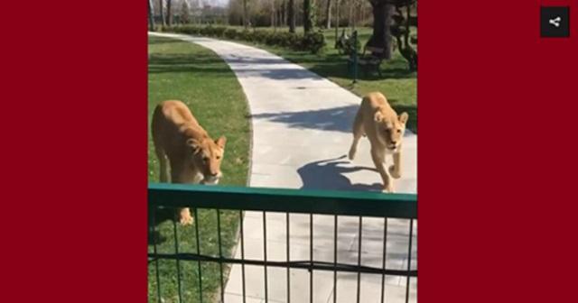 【衝撃映像】7年ぶりに元の飼い主と再会した2頭のライオンが取った衝撃の行動とは・・・