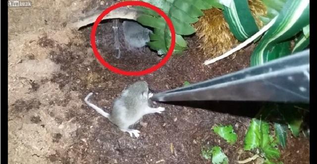 【恐怖の瞬間】世界最大のクモにネズミを近づけてみたら・・・【閲覧注意】