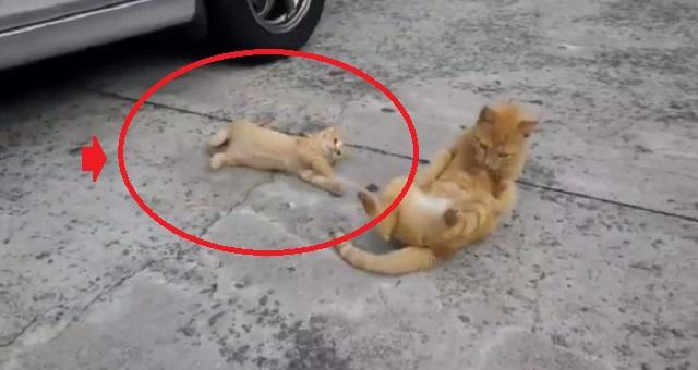 【話題の動画】大人猫から『ゴロンの極意』を学ぶ子猫の仕草がヤバ過ぎるwwwww(※解説あり)