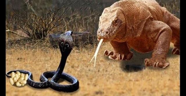 【貴重映像】コモドオオトカゲ対キングコブラの迫力映像!壮絶な戦いの結末は・・・