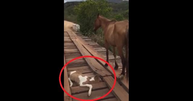 【衝撃動画】橋に挟まった子馬を何もできず見つめるだけの母馬。すると通りがかった男性が危険をかえりみず救助にあたる!