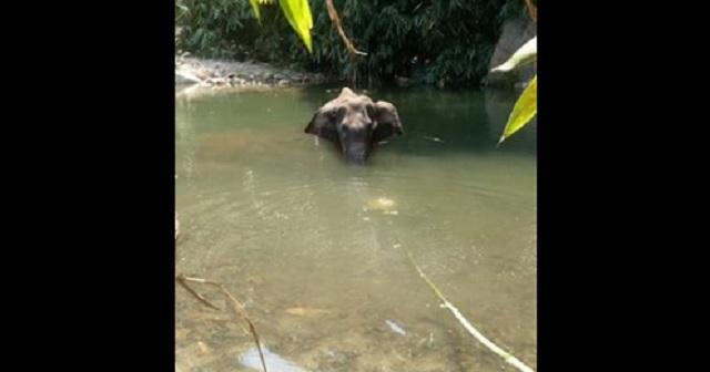 【悲劇】爆竹入りパイナップルを食べてしまった妊娠中のお母さん象 → 雌象は激痛と恐怖で・・・