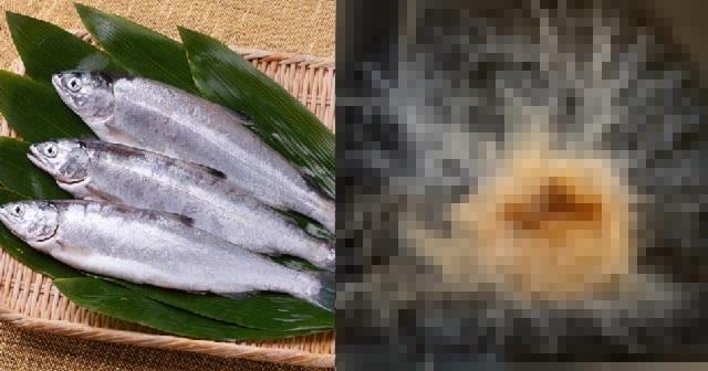 【衝撃映像】釣ったばかりのヒメマスのお腹を割いてみた → 出てきた寄生虫がヤバ過ぎる・・・【※閲覧注意※】