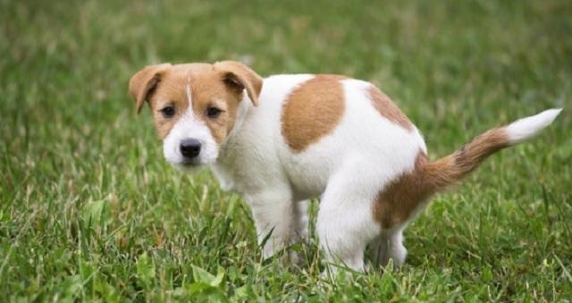 【驚愕】なぜ犬はうんちっちをする前にグルグル回るのか?→ 衝撃の理由が判明!!