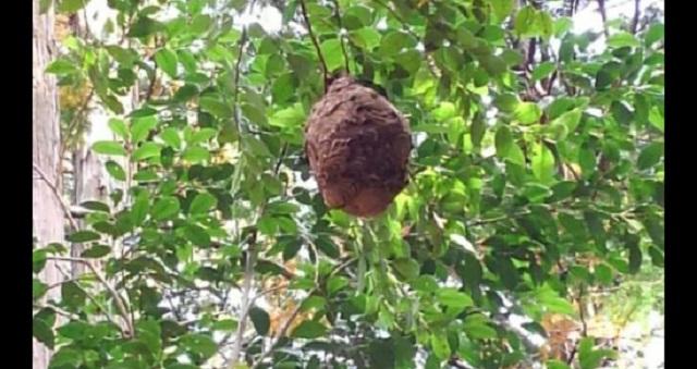 【衝撃】殺虫剤なし!スズメバチを駆除する簡単トラップの作り方「こんな方法があったとは…」