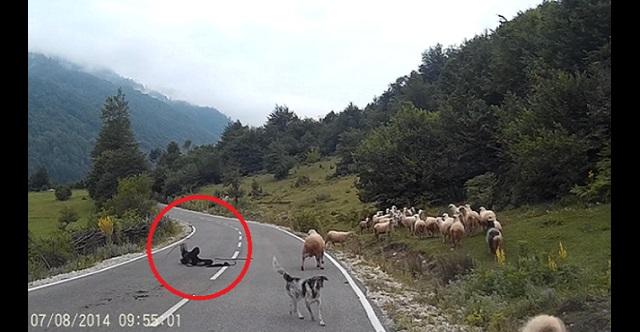 【衝撃動画】長閑な田舎の風景が一変!羊飼いの女性を襲ったまさかの悲劇とは・・・(※閲覧注意)