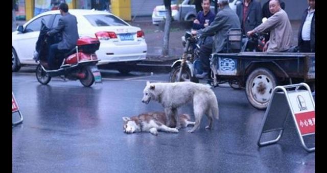 【切ない…】クルマに轢かれて倒れた犬を助けようと、唯一手を差し伸べたのは・・・一匹の野良犬だった。