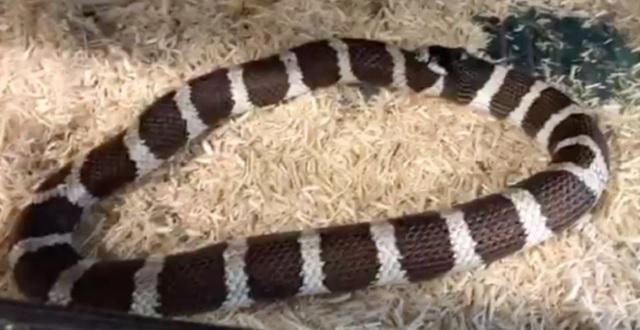 【絶句】なんと、自分を食べようとして輪っか状態になってしまったヘビ!!→ その結果・・・(※動画あり)