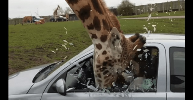 【衝撃映像】サファリパークでキリンと事故!→ 車の窓から締め出そうとしたところ、ガラスが粉砕して・・・
