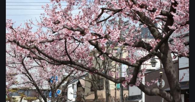 ウチの私有地には桜が → マンション自治会『桜の開花の時に借りたい』父「片付けをするならOK」→ 宴会後、ゴミを放置。父が怒るとボコられたの...